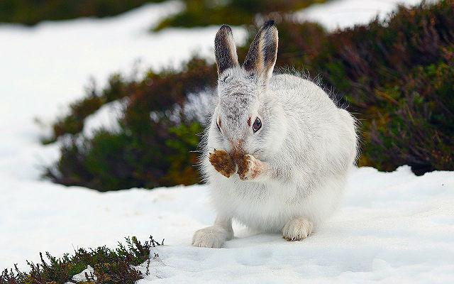 Зайчонок-беляк