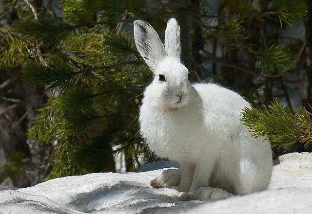 Заяц-беляк - главное фото