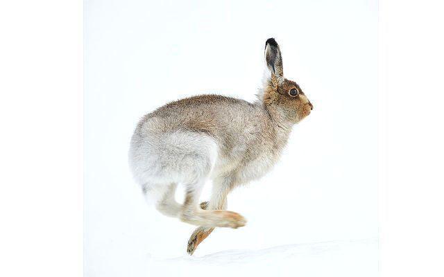 Заяц-беляк - охота
