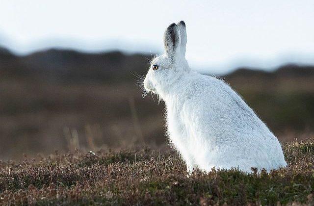 Заяц-беляк - вид сбоку