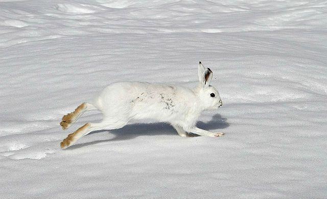 Заяц-беляк бежит по снегу