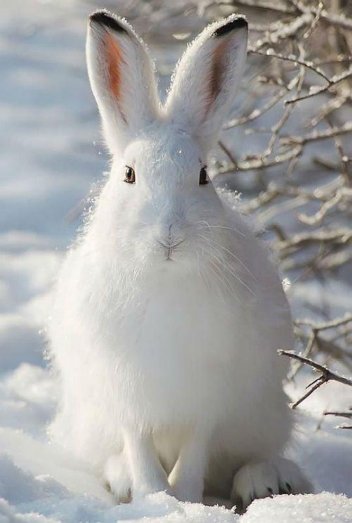 Заяц-беляк - внешний вид