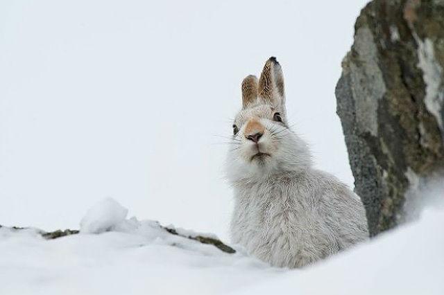 Заяц-беляк - образ жизни
