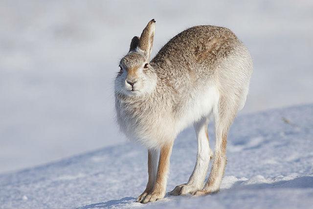 Заяц-беляк выгнул спину