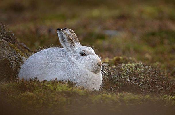 Беляк - заяц