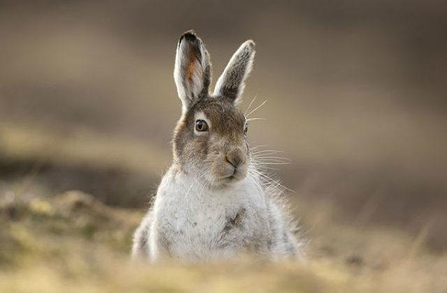 Заяц-беляк - голова