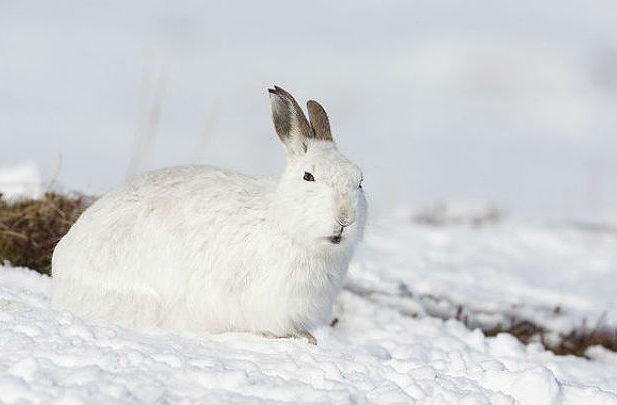 Заяц-беляк лежит на снегу