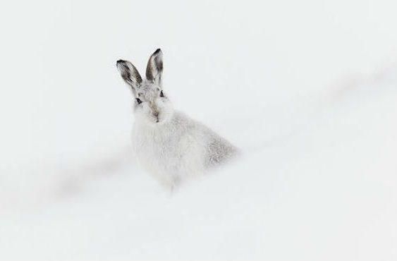 Заяц-беляк выглядывает из-за сугроба
