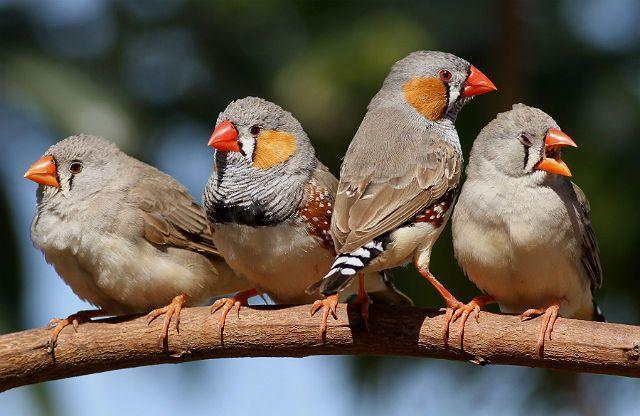 Птички зебровые амадины