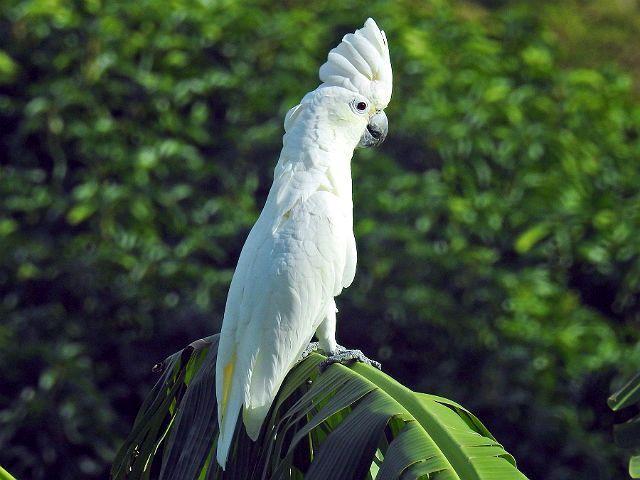 Белый какаду альба - главное фото