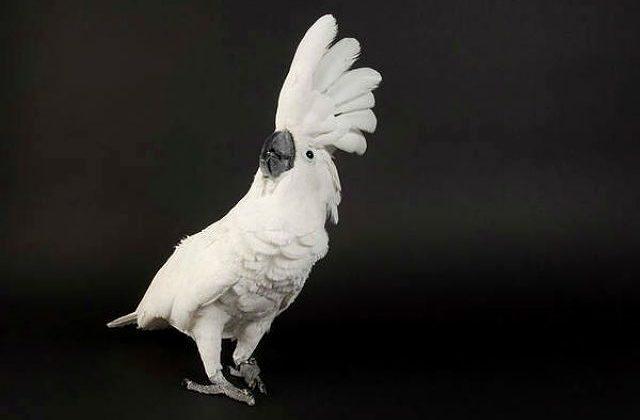 Белый какаду альба - вид спереди