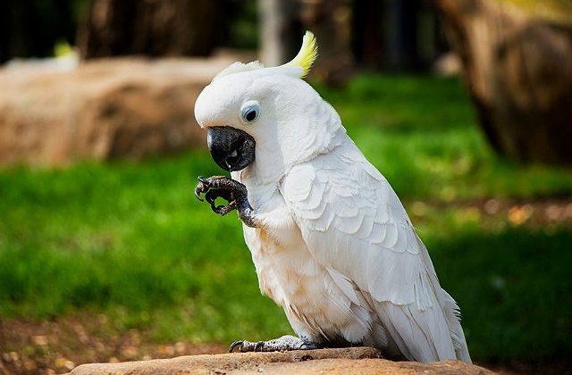 Белый какаду альба