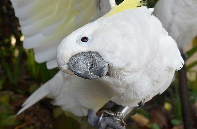 Белый какаду альба - клюв