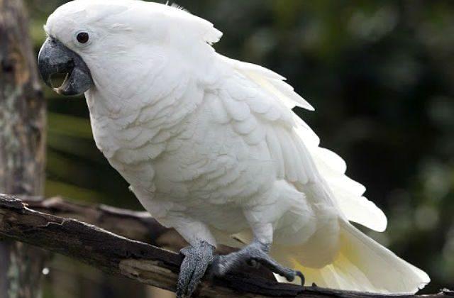 Белый какаду альба сидит на ветке