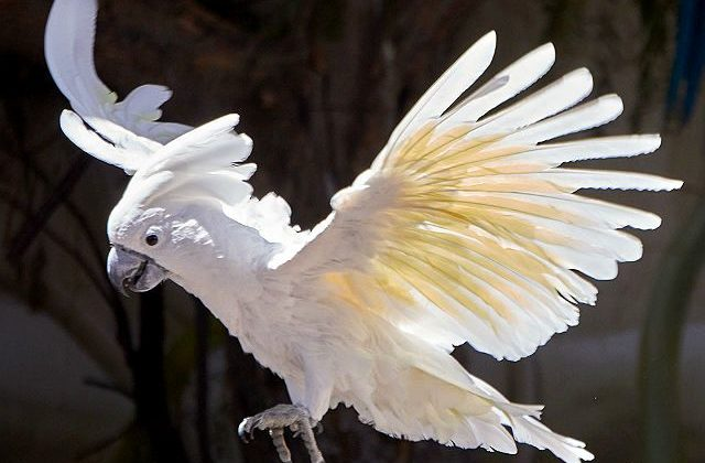 Белый какаду альба расправил крылья
