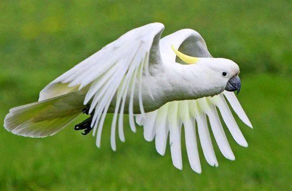 Белый какаду альба в полете