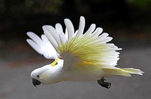 Белый какаду альба летит
