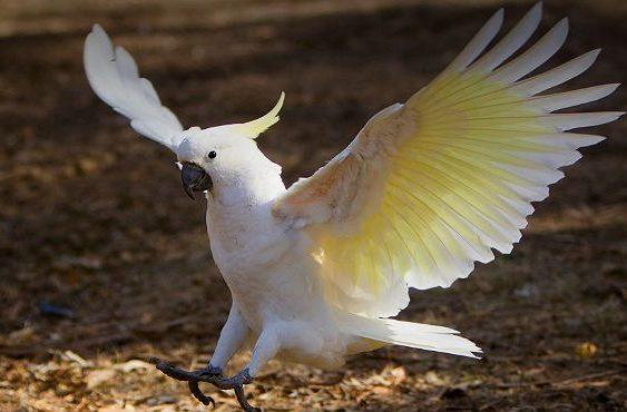 Белый какаду альба приземяется