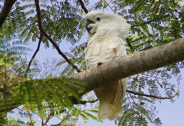 Белый какаду альба - среда обитания