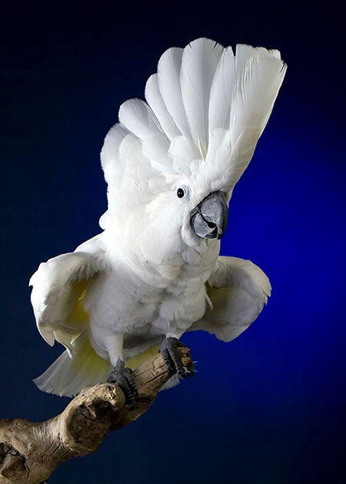 Белый какаду альба - внешний вид