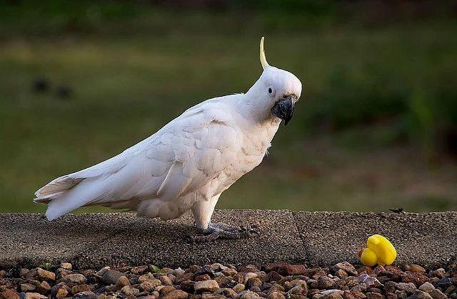 Белый какаду альба на земле