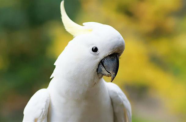 Белый какаду альба - голова
