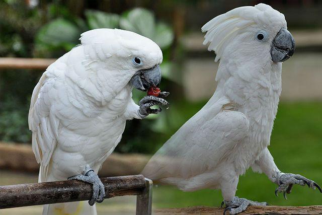Белый какаду альба - характер и поведение