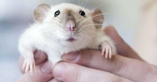 Как отучить крысу кусаться