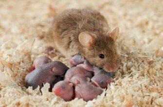 Домашняя крыса рожает - главное фото