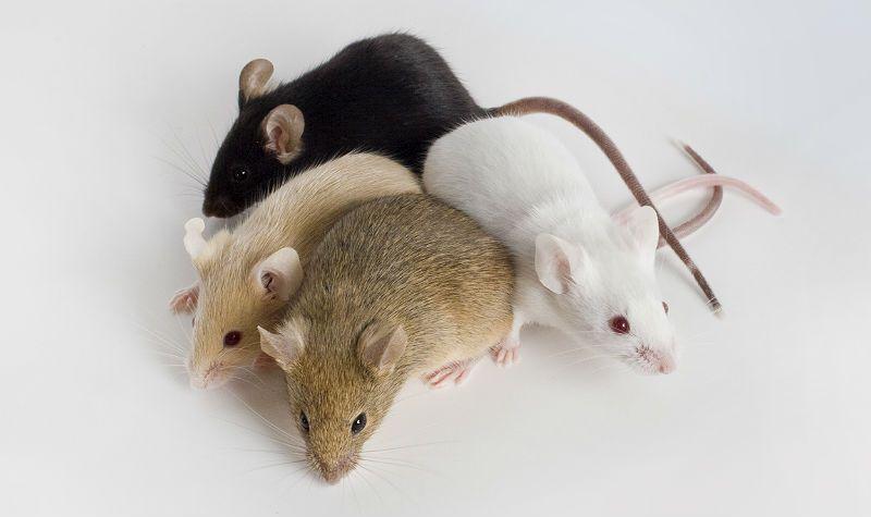Дрессировка декоративных мышей - главное фото
