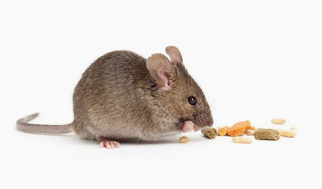 Дрессировка декоративных мышей - поощрение
