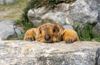 Как сурки впадают в спячку - главное фото