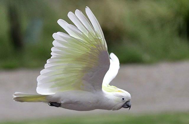 Какаду летит