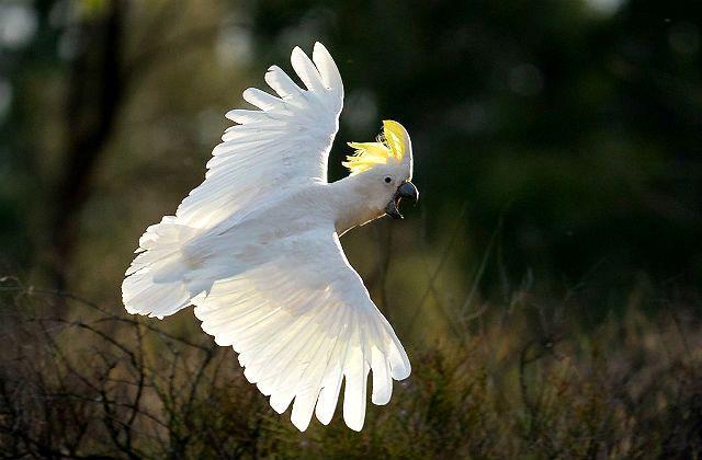 Какаду расправил крылья