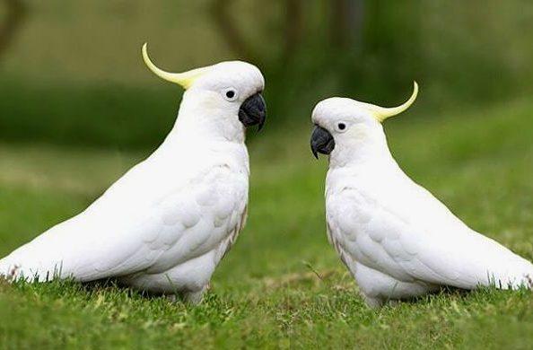 Два какаду