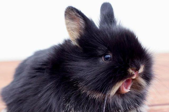 Кролик кашляет