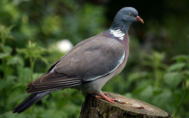Лесной голубь - главное фото