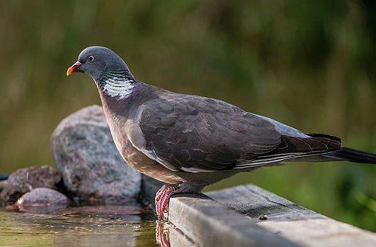 Лесной голубь у воды
