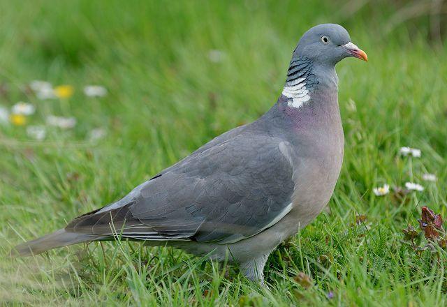 Лесной голубь - среда обитания
