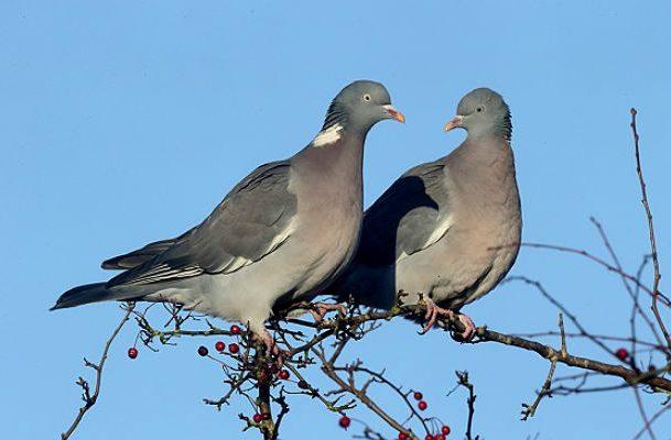 Лесные голуби на ветке