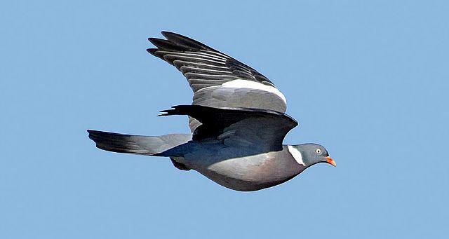 Лесной голубь летит