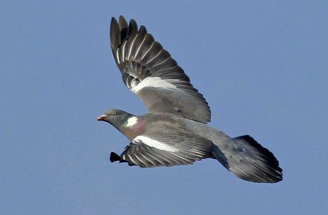 Лесной голубь в полете