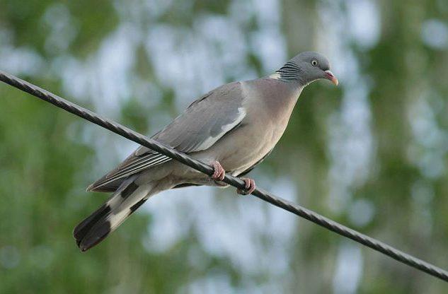 Лесной голубь - вид снизу