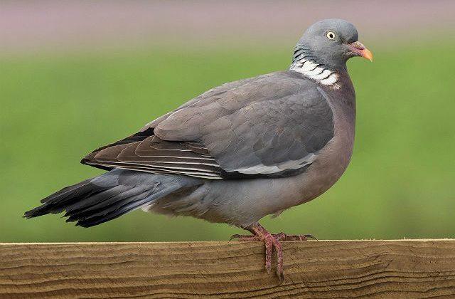 Лесной голубь - вид сбоку