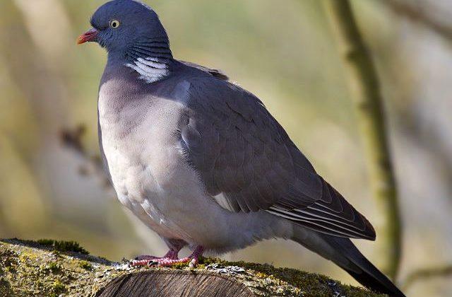 Птица лесной голубь