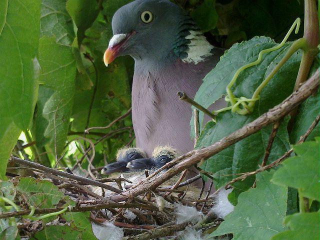 Лесной голубь - размножение