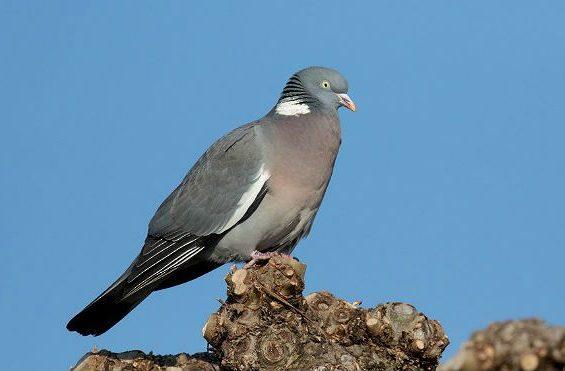 Лесной голубь сидит