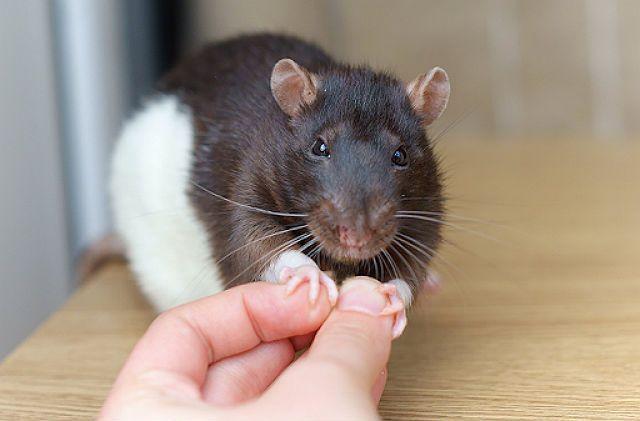 Почему кусаются домашние крысы - главное фото
