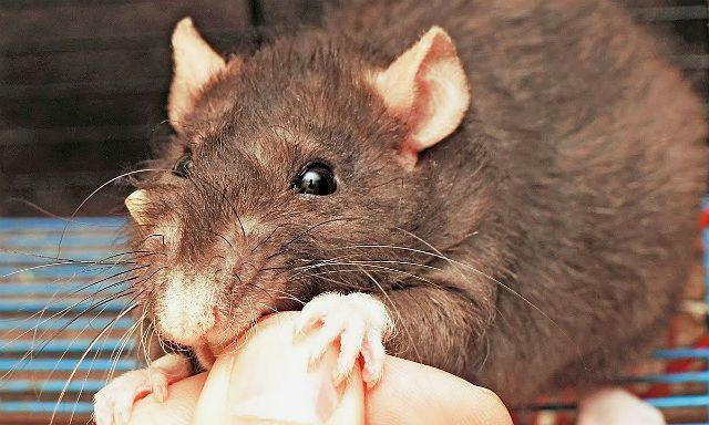 Почему кусаются домашние крысы - причины