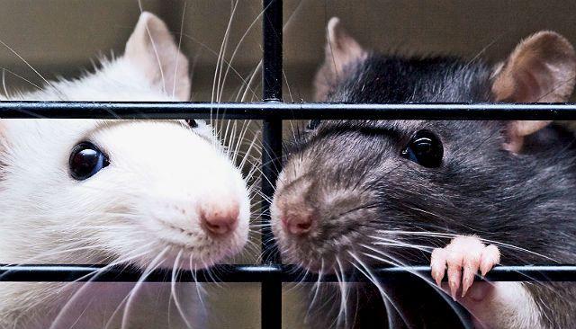 Кусаются домашние крысы